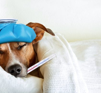 jack russell dog sleeping in bed with high fever temperature ice bag on head thermometer in mouth covered by a blanket